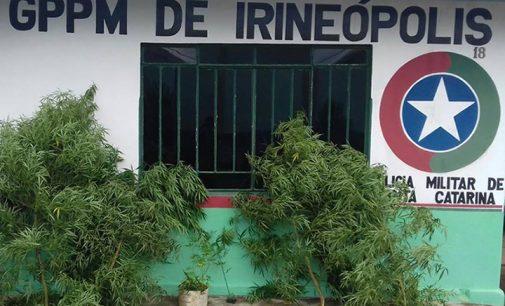 Policia Militar de Irineópolis apreende plantação de maconha