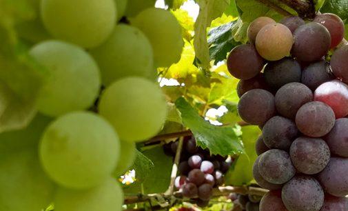 26º Festa da Uva de Bituruna acontece nesse final de semana