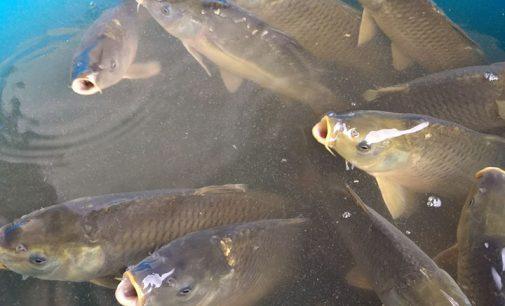 Se inicia a Feira do Peixe em Porto União