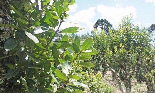 Moradora de Cruz Machado tem mil quilos de Erva-Mate furtados