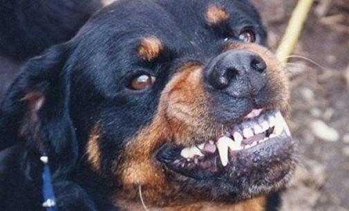 Mulher é atacada por dois cachorros Rottweiler em Paula Freitas