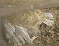 Homem envenena milho e mata 60 galinhas no interior de Bituruna