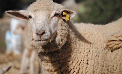 Ovelhas são furtadas de propriedade na BR 153