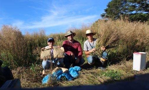 Docente da Uniguaçu realiza pesquisa para expansão da cultura da canola no Brasil