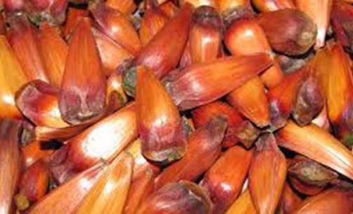 Agricultor registra furto de 500 Kg de pinhão em General Carneiro