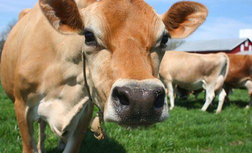 Duas vacas e Erva-Mate são furtadas em Bituruna
