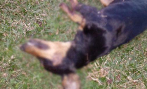 Homem é preso por matar cachorro no interior de Irineópolis