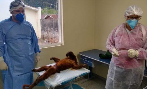 Macaco bugio é encontrado morto no interior de Bituruna