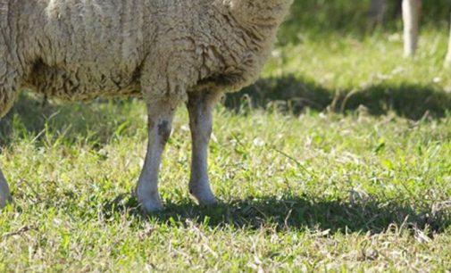 Agricultor denuncia furto de ovelhas em Paula Freitas
