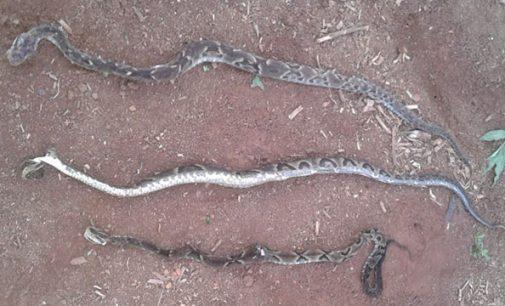 Cruz Machado: Agricultor encontra três cobras em plantação de fumo