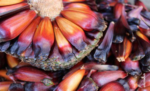 Colheita e venda de pinhão estarão liberadas a partir do dia 1º de abril