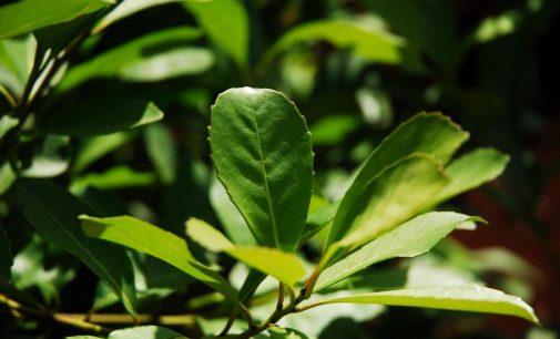 Cruz Machado: morador tem grande quantidade de erva mate furtados de sua propriedade